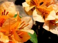Flowers - Wat Yai Chai Mongkhon