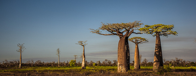 flickr - baobab trees - ralph kranzlein